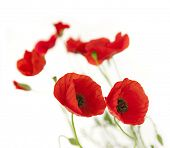 foto of poppy flower  - Natural Fresh Poppies isolated on white background  - JPG