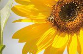 Honey Bee Pollenating Yellow Sunflower Close Up Macro Isolated poster