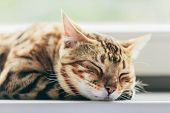 Relaxed Bengal cat sleeping happy while lying on a window sill. Face close-up poster