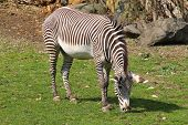 Grevy´s Zebra (equus Grevyi) Pasturing On The Grass poster