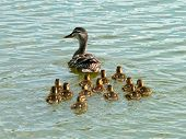 image of baby duck  - Baby Ducks following mom Learning how to swim Taking care of each other.