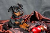 pic of miniature pinscher  - The Miniature Pinscher puppy 2 - JPG