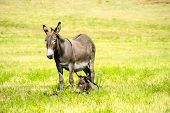 stock photo of burro  - A mother and baby burro in a field of grass at Custer State Park South Dakota - JPG