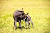 foto of burro  - Portrait of a mother and baby burro in the grass at Custer State Park South Dakota - JPG