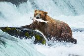 stock photo of waterfalls  - Brown bear on Alaska - JPG
