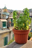 stock photo of genova  - Basil in the pot on the terrace in Genova Italy - JPG