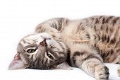 stock photo of tabby-cat  - Tabby cat relaxing and looking at camera - JPG