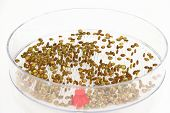 Sprouting seeds of lentil