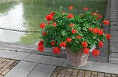 stock photo of geranium  - Blooming red geraniums decorating a city park - JPG