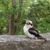 picture of kookaburra  - Close up of a kookaburra  - JPG