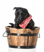 stock photo of scottie dog  - scottish terrier puppy in a wash basin isolated on white background - JPG
