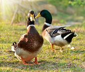 ducks on a grass