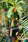 foto of carnivorous plants  - Nepenthes carnivorous plant family in the greenhouse botanical garden in Moscow - JPG