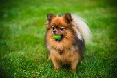 picture of pomeranian  - Pomeranian dog  - JPG
