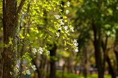 pic of dogwood  - Flowers of dogwood  - JPG
