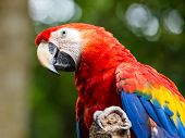 foto of parrots  - Portrait of colorful Scarlet Macaw parrot in Mexico - JPG