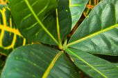 picture of croton  - Leaves of croton tree Codiaeum  - JPG