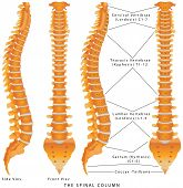 stock photo of vertebrae  - The Spinal Column Diagram - JPG
