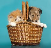 image of coon dog  - Spitz puppy and Persian kitten - JPG