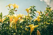 pic of trumpet flower  - Golden Trumpet flower or Allamanda cathartica in the garden or nature park vintage - JPG