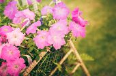 pic of petunia  - Petunia or Petunia Hybrida Vilm in the garden or nature park vintage - JPG