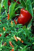 stock photo of jalapeno peppers  - Red bell pepper growing in the garden - JPG