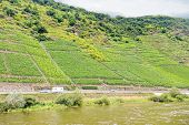 picture of moselle  - vineyard on green hills along Moselle river Germany - JPG