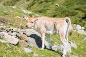 picture of moo-cow  - Brown cow through the Catalan Pyrenees Spain - JPG