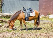 stock photo of saddle-horse  - Horse with saddle eating hay on a field in farm - JPG