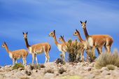 picture of pampas grass  - Vicunas on the hill  - JPG