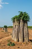 image of cassava  - The cassava farm at the countryside of Thailand - JPG