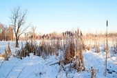 image of cattail  - Cattail or reedmace in snow at the clear blue sky background - JPG