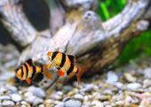stock photo of shoal fish  - Shoal of aquarium fish - JPG