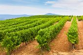 image of southern  - Diminishing rows of Vineyard Field in Southern France - JPG