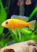 foto of dwarf  - Aquarium Fish dwarf Cichlid - JPG