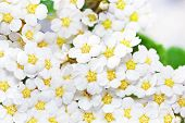 picture of meadowsweet  - Beautiful white flowering shrub Spirea aguta  - JPG