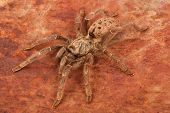 stock photo of venomous animals  - Brown Baboon Tarantula on rusty background - JPG