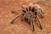 foto of exoskeleton  - Closeup of a Chilean Rose Hair Tarantula  - JPG