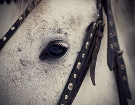 stock photo of stallion  - An eye of a white horse in a harness. Muzzle of a horse. Stallion. Portrait of a horse. Thoroughbred horse. Beautiful horse.