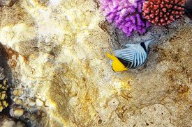 picture of butterfly fish  - Coral and fish in the Red Sea - JPG