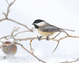 picture of chickadee  - Black - JPG