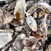 picture of oyster shell  - Oyster shells background in Hiroshima Japan  - JPG