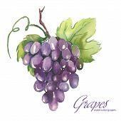 foto of grape  - Watercolor artistic vector Illustrations Of beautiful Grapes - JPG