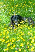 picture of buttercup  - Happy dog lying on a meadow with buttercups - JPG