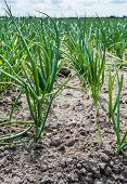 foto of green onion  - Young fresh green onion plants of newly sown onions in rows on the field at an organic farm