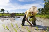 foto of plowed field  - asian male rice farmer at work on a sunny day with a plow in the background - JPG