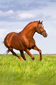 foto of galloping horse  - Red horse run gallop in the meadow - JPG