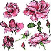 image of rose bud  - flowers of pink roses - JPG