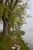foto of row trees  - Row of old trees on foggy lake shore in early summer - JPG