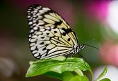 stock photo of nymphs  - Tree Nymph or Paper Kite Butterfly on a green leaf